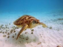 おすすめの防水カメラケースと一眼レフで撮影したウミガメ