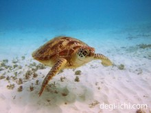 PEN Liteと防水ハウジングによる水中写真 かわいいウミガメ