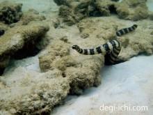 おすすめ防水デジタル一眼レフカメラによる水中写真 ウミヘビ