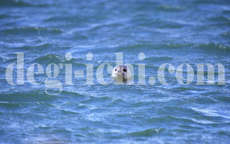 無料写真:ゴマフアザラシ 顔を出す(北海道)