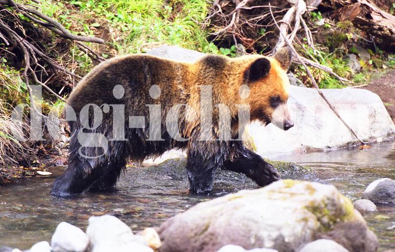 無料写真:ヒグマ エサを探す(世界遺産北海道知床)