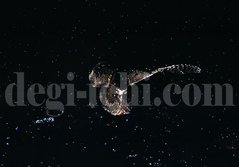 無料写真:シマフクロウ 小雪舞う川の中で(世界遺産北海道知床)