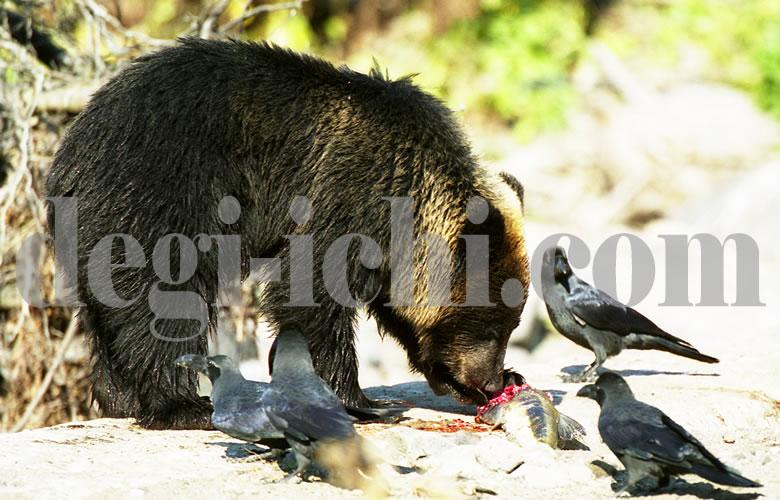 無料写真:ヒグマ サケを食べる(世界遺産北海道知床)