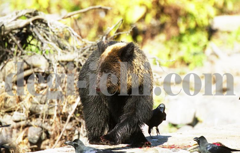 無料写真:ヒグマ 紅葉の山へ帰る(世界遺産北海道知床)