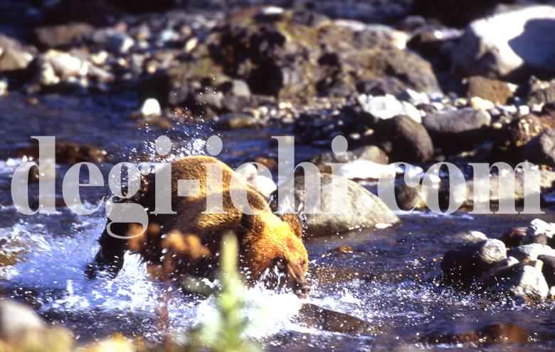 無料写真:ヒグマ サケを捕る(連続写真No.1)(世界遺産北海道知床)