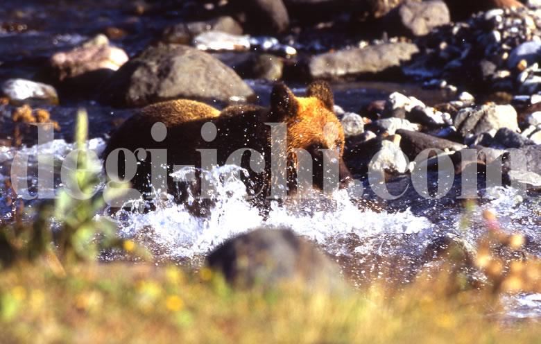 無料写真:ヒグマ サケを捕る(連続写真No.2)(世界遺産北海道知床)