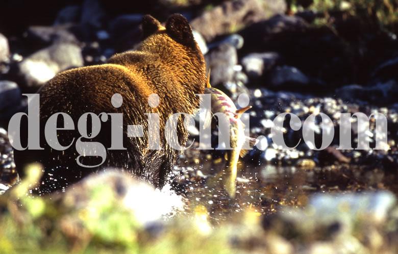 無料写真:ヒグマ サケを捕る(連続写真No.3)(世界遺産北海道知床)