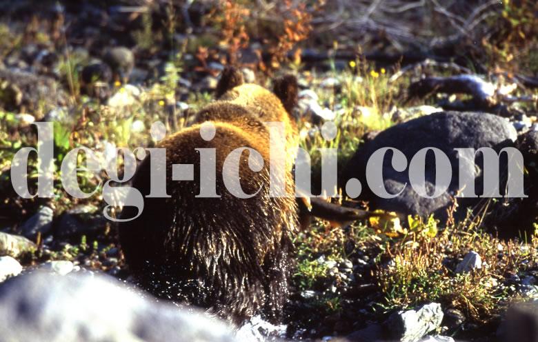 無料写真:ヒグマ サケを捕る(連続写真No.4)(世界遺産北海道知床)