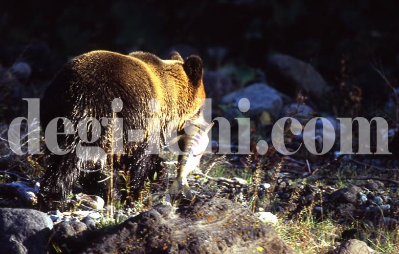 無料写真:ヒグマ サケを捕る(連続写真No.5)(世界遺産北海道知床)