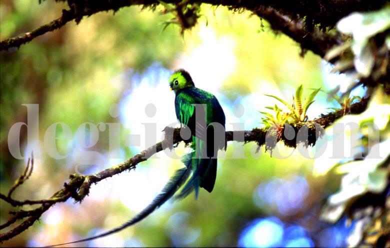 無料写真:ケツァール 世界一美しい鳥(コスタリカ)