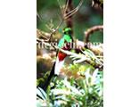 無料写真:ケツァール 世界一美しい鳥2(コスタリカ)