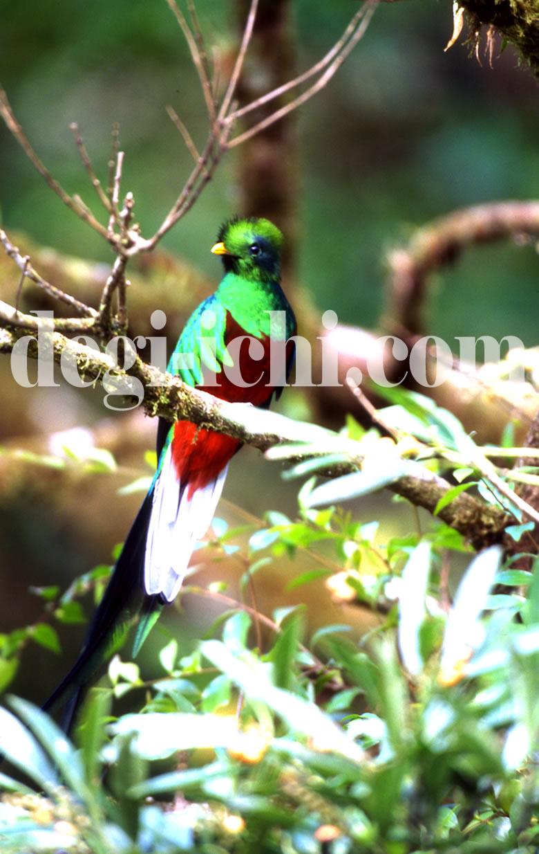 無料写真画像:ケツァール 世界一美しい鳥(中米コスタリカ)