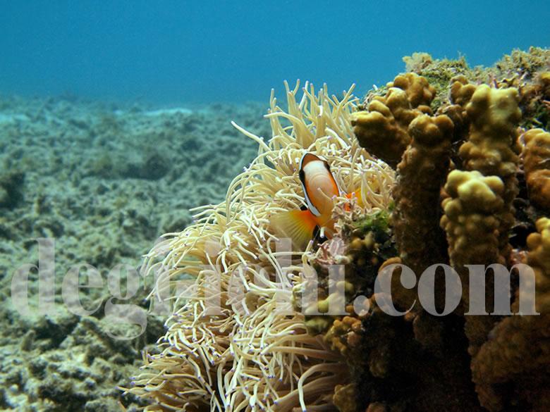 無料写真:クマノミ サンゴ礁の向こうに(沖縄)