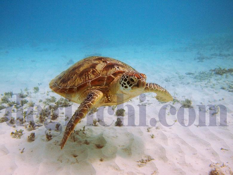 無料写真:アオウミガメ 滑るように泳ぐ(沖縄)