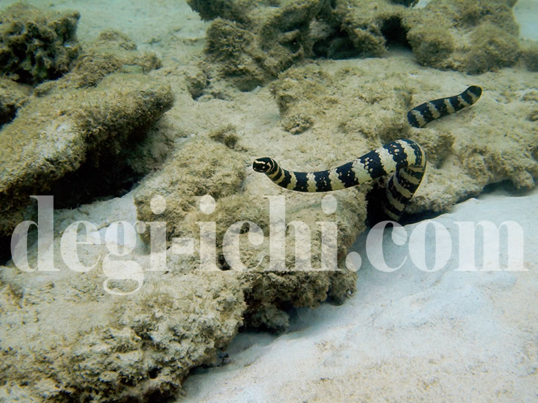 無料写真:ウミヘビ サンゴ礁の毒蛇(沖縄)