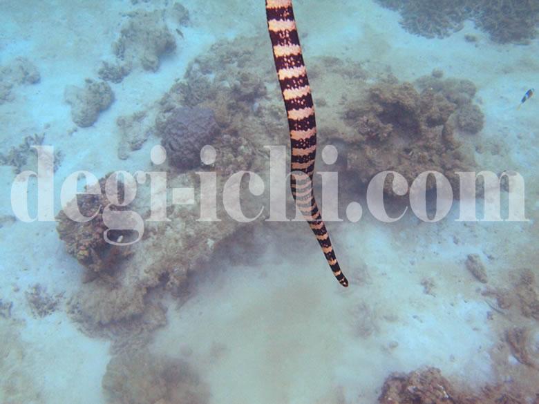 無料写真:ウミヘビ 息継ぎ(沖縄)