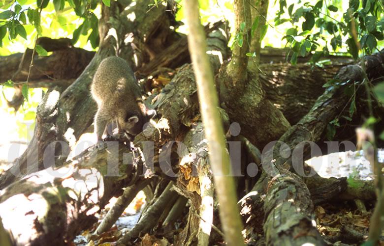 無料写真:アライグマ 倒木に乗って(コスタリカ)