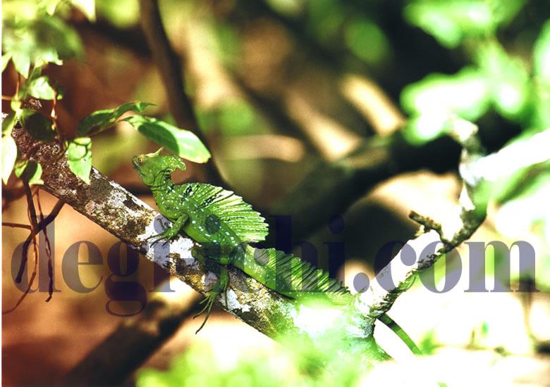 無料写真:グリーンバシリスク 緑の美しいトカゲ(コスタリカ)