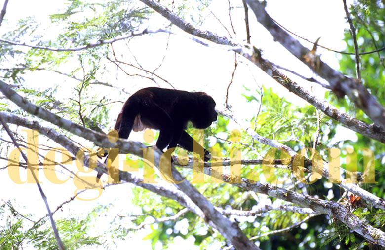 無料写真:クロホエザル 緑・黒・白のコントラスト(コスタリカ)