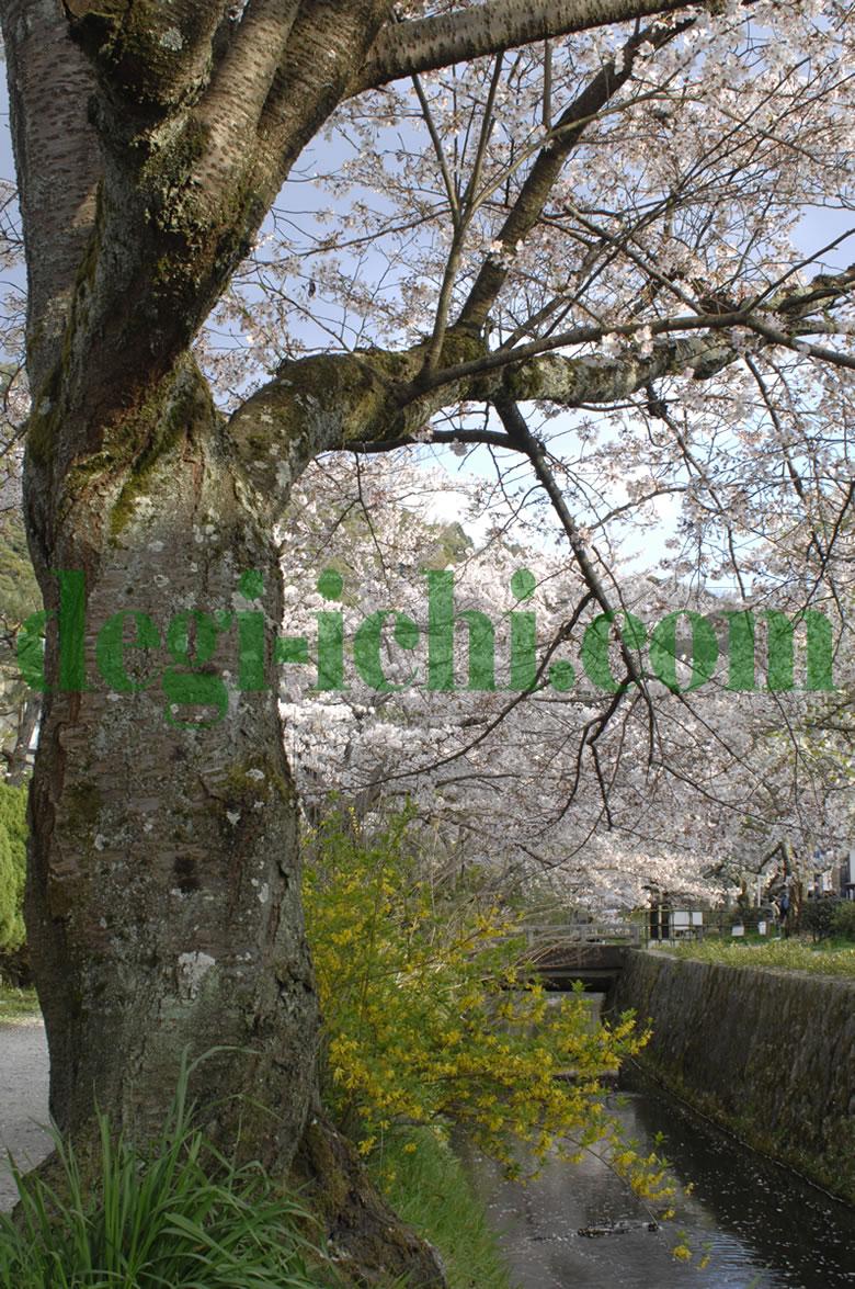 サクラの写真画像 満開の桜(京都の見所・名所・スポット情報 哲学の道)