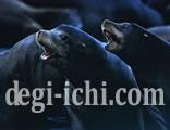 無料写真:カリフォルニアアシカの画像 共に生きる(北米)